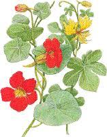 nasturtium flowers nasturtiums growing and use information