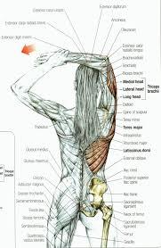 The Human Anatomy Muscles Best 25 Anatomy Ideas On Pinterest Anatomy Reference Human