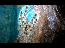 sri lankan ornamental tarantula vs cricket