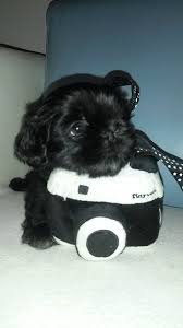 205 best shihpoo images on pinterest animals puppies and baby