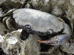 mud or stone make sure you have the right crab u2013 the marine