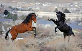 Nevada wild animals images Wild horses in nevada could be sold for slaughter in trump plan jpg