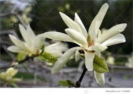 magnolia flowers magnolia flowers picture