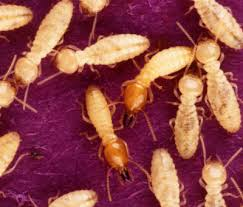 How To Get Rid Of Bed Bugs Yourself Fast How To Get Rid Of Termites Yourself