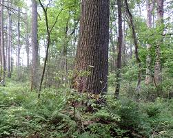 Tennessee Forest images Landmark and historic trees tennessee urban forestry council jpg