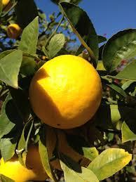 meyer lemon growing tips on caring for a meyer lemon tree
