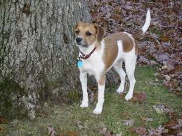 american eskimo dog jack russell mix jackabee jack russell terrier beagle mix info puppies pictures