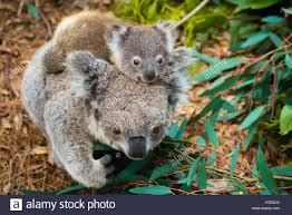 australian koala bear native animal with baby on the back stock