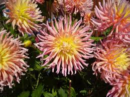 Pictures Of Garden Flowers by File Big Pink Garden Flowers Jpg Wikimedia Commons
