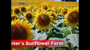Grinter Farms Watch Kansas Sunflower Farm Draws Thousands Annually Kshb Com