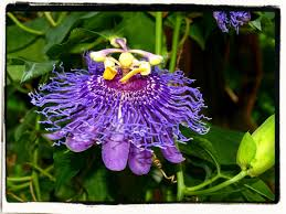 native plants passionflower vine grows passion flower our herb farm