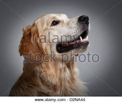 Training A Guide Dog For The Blind Golden Retriever Guide Dog Stock Photo Royalty Free Image