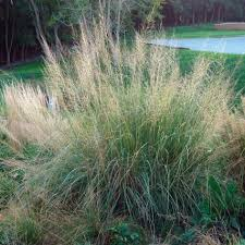 12 best miscanthus images on ornamental grasses