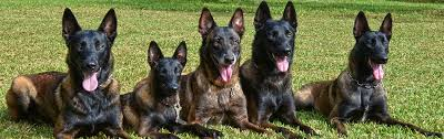 belgian shepherd how much malinois ot vitosha two time world champion dogs
