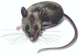 get rid of deer mice deer mouse control u0026 identification orkin com