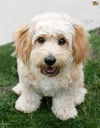 bichon frise long hair all about the cavachon dog pets4homes