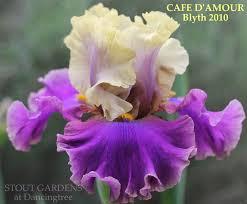 tall bearded iris u2013 stout gardens at dancingtree