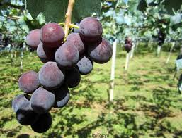 how to go grape hunting ぶどう狩り in japan texan in tokyo