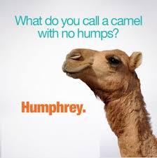 Camel Meme - what do you call a camel with no humps meme xyz