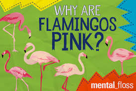 why are flamingos pink mental floss