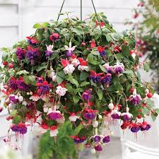 Plants For Patios In The Shade Best Plants For Hanging Baskets Balcony Garden Web