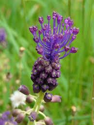 plants native to france leopoldia comosa muscari à toupet leopoldia comosum dordogne
