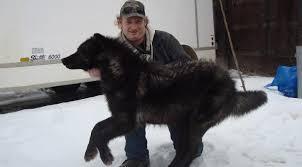 belgian shepherd edmonton corey kapalka obituary edmonton alberta legacy com