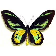 ornithoptera rothschildi butterfly designs framed butterflies