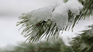 snow falling and melts on a pine tree stock footage 15343216