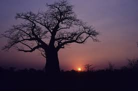 cool trees 16 cool pictures of baobab trees