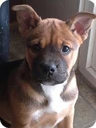 australian shepherd rescue california sadie adopted puppy suzy studio city ca english bulldog