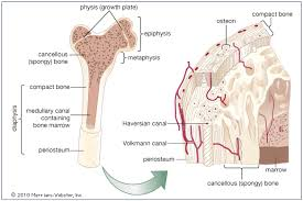 Human Body Picture Bone And Tooth Minerals U2014 Science Learning Hub