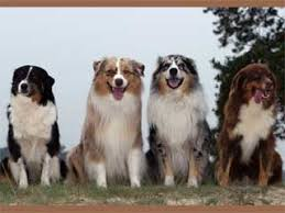 australian shepherd double coat australian shepherd information and facts dog breeds