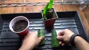 snake plant mother in law u0027s tongue how to propagate from