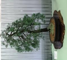 bonsai australian native plants native plants as bonsai u2013 exhibition 2015 pt2 wattos bonsai blog