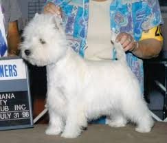 images of westie hair cuts 67 best westie images on pinterest westies pets and white terrier