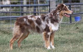 australian shepherd akc at large imagineer australian shepherds