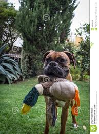 boxer dog funny a funny cute boxer dog in the garden holding a toy duck stock