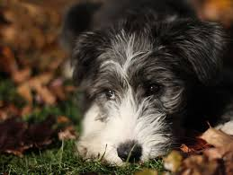 bearded collie montreal stella bearded collie puppy
