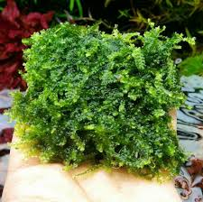 moss to buy