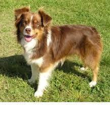images of australian shepherd miniature australian shepherd breed information history health