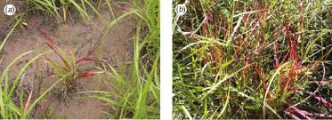 Australasian Plant Disease Notes - buffel grass cenchrus ciliaris plants affected with the dieback