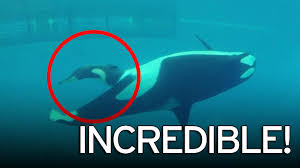 incredible moment last baby orca is born at seaworld caught on