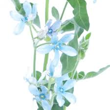 light blue flowers tweedia flower light blue is a delicate blue flower with