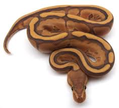 orange ghost genetic stripe ball python for sale online at kicks