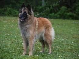 belgian shepherd uk pedigree kc registered belgian shepherd tervueren puppies in