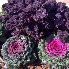 plant of the week ornamental cabbage kale neil sperry s gardens