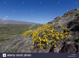 anza borrego desert california march 14 2017 flowers in coyote