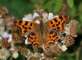 butterfly photo album polygonia c album comma butterfly nymphalis c album