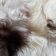 White Sheepskin Rugs Icelandic Sheepskin Rug White Brown Spot Hides Of Excellence